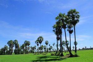 RUAYต้นไม้ศักดิ์สิทธิ์ ต้นตาล กับความเชื่อที่อยู่คู่กับคนไทยมานาน
